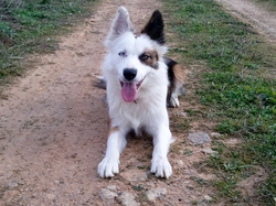 Shelby, chien Border Collie
