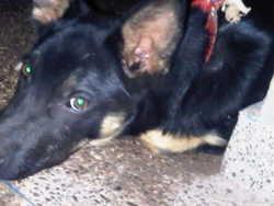 Gzévir, chien Berger allemand