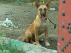 Yacko, chien Berger belge