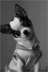 Yaeka, chien Chihuahua