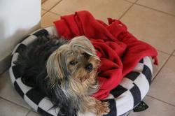 Yago, chien Yorkshire Terrier