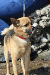 Yaki, chien Spitz allemand