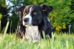 Yaki, chien Border Collie