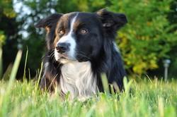 Yaki, chien Border Collie