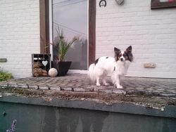 Yali, chien Épagneul nain continental