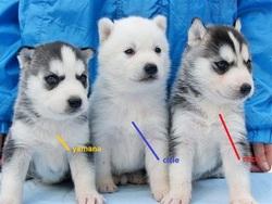 Yamana, Cicie Et Coco, chien Husky sibérien