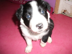 Yancka, chien Border Collie