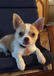 Yangau, chien Chihuahua