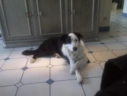 Yankee, chien Border Collie