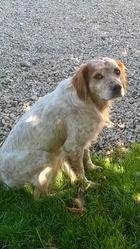 Yanko, chien Épagneul breton