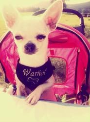 Yarhol, chien Chihuahua