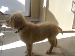 Yash , chien Golden Retriever