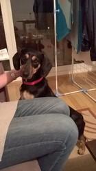 Yasmin, chien Teckel