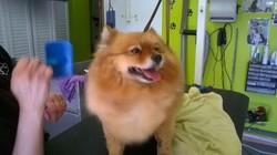 Yasmine, chien Spitz allemand
