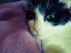Yasmine , chat Européen
