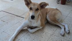 Yatina, chien Labrador Retriever