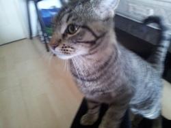 Yatta, chat Européen