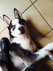 Yauce, chien Husky sibérien