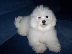 Idylle, chien Bichon à poil frisé