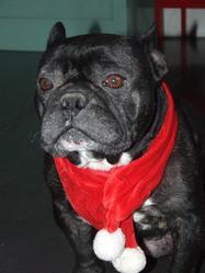 Yeno, chien Bulldog