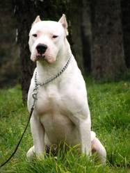 Yérco, chien Dogue argentin