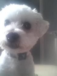Yevann, chien Coton de Tuléar