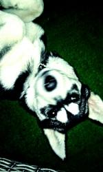 Yiva, chien Husky sibérien