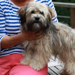 Ylang Ylang, chien Lhassa Apso
