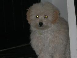 Ylia, chien Caniche