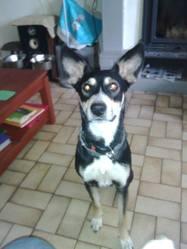 Yna, chien Berger allemand