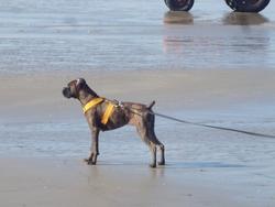 Yndy, chien Boxer