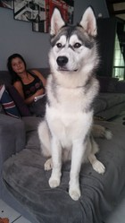 Yochi, chien Husky sibérien
