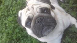 Yoda, chien Carlin