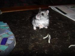 Yoda Rip, rongeur Hamster