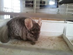 Yoda, rongeur Chinchilla