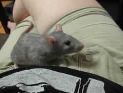 Yoda, rongeur Rat