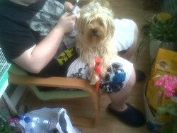 Yoda, chien Yorkshire Terrier