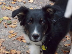 Yoda, chien Border Collie