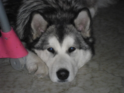 Yoda, chien Malamute de l'Alaska