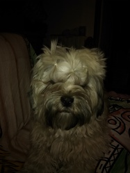 Yoggi, chien Lhassa Apso