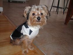 Yogy, chien Yorkshire Terrier