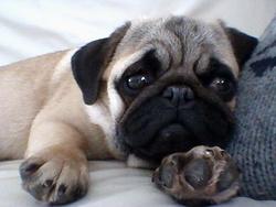 Yohna, chien Carlin