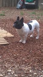 Yoko, chien Shih Tzu