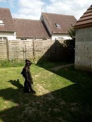 Yoko, chien Golden Retriever