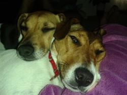 Yoko, chien Jack Russell Terrier