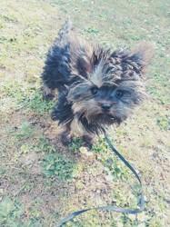 Yoko, chien Yorkshire Terrier