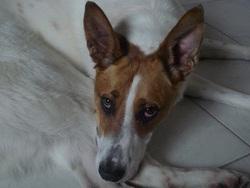 Yolita, chien Podenco ibicenco