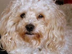 Yomy, chien Bichon à poil frisé