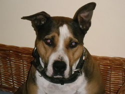 Yona, chien American Staffordshire Terrier