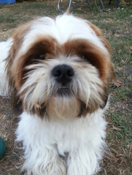 Yona, chien Lhassa Apso